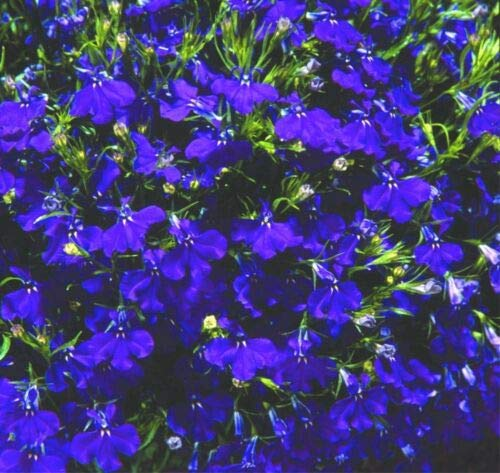 Lobelia Seeds Coat of Arms Blue Trailing Lobelia 50 Multi pelleted Seeds