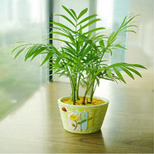 2016*New Arrival 50pcs Chamaedorea Elegans seeds indoor outdoor home garden bonsai plants Easy growing SVI