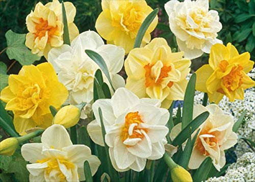 Daffodil Bulbs,Narcissus Double Mix,Top Size 14/16 cm.Now Shipping ! (10 Bulbs) by BasqueStore