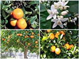 Cold-hardy Bitter orange / marmalade orange Tree (Citrus aurantium ) - 25 seeds