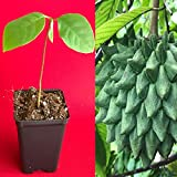 Cutdek Rollinia Deliciosa Biriba Potted Plant Tropical Tree