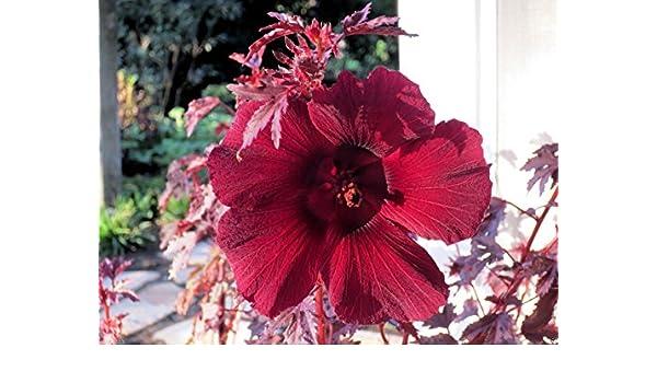 Amazoncom 50 Seeds Mahogany Splendor Tropical Hibiscus Like
