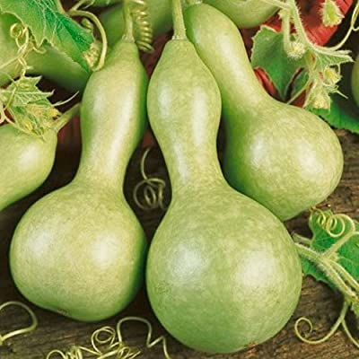 Organic Heirloom 30 Lagenaria Seeds Large Bird House Gourd Big Bottle Like Green Scoop-shaped Cucurbitaceae Vine Creeper Plant Bulk F75 : Gourds For Sale : Garden & Outdoor