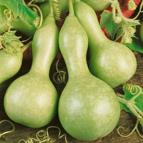 - Organic Heirloom 30 Lagenaria Seeds Large Bird House Gourd Big Bottle Like Green Scoop-shaped Cucurbitaceae Vine Creeper Plant Bulk F75