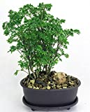 Hirt's Ming Bonsai Tree with Decorative Stone & Saucer - Polyscias fruticosa