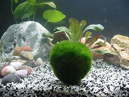 5 vida gigante Marimo Musgo bolas (~ 2 pulgadas) + 1 Nano Marimo gratis. Live Cladophora Acuario Planta acuática para peces o camarón tanque, 8 - 15 años, ...