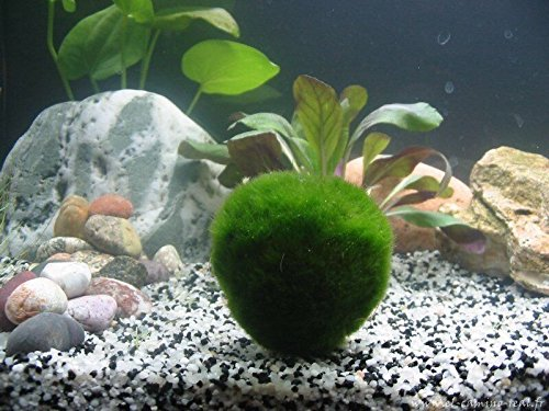 10 gigante Marimo Musgo bolas de vida (~ 2 pulgadas) + 1 Nano Marimo gratis. Live Cladophora Acuario Planta acuática para peces o camarón tanque, ...