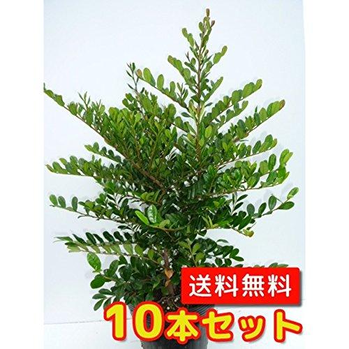 【ノーブランド品】ハマヒサカキ樹高0.5m前後15cmポット【10本セット】 B00W4VX7VM