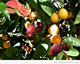 (6 in 1) FRUIT COCKTAIL TREE - 6 different FRUITS on one plant -Purple plum, Red Nectarine, Yellow Peach, yellow Nectarine, Red Plum, Apricot