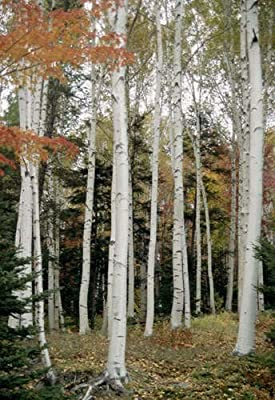 100 JAPANESE WHITE BIRCH TREE Betula Platyphylla Japonica Seeds by Seedville