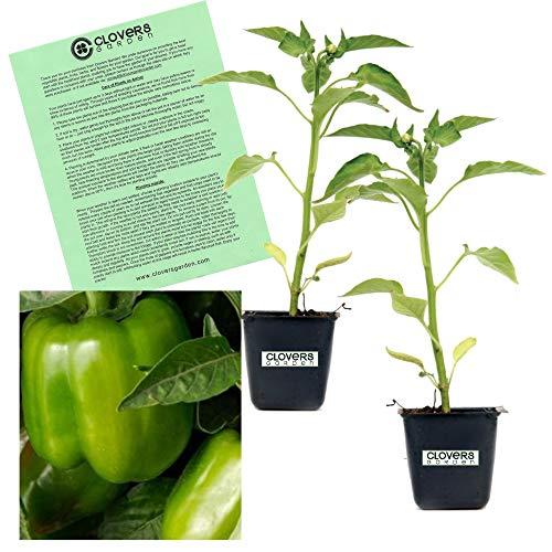 Clovers Garden California Wonder Bell Pepper Plant - Non-GMO - Two (2) Live Plants - Not Seeds - Each 4