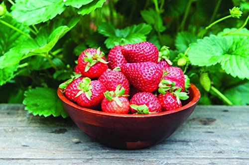 Burpee 'Seascape' Ever-Bearing Strawberry shipped as 25 BARE ROOT PLANTS