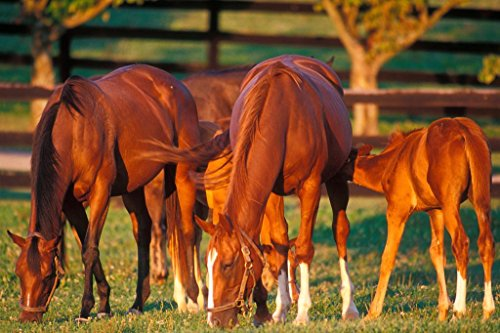 Thoroughbred Mares and Foals Grazing in Pasture Photo Art Print Mural Giant Poster 54x36 inch