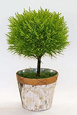 Root 98 Warehouse Lemon Cypress Goldcrest Topiary Tree in Birch Tin, Aromatic Houseplant