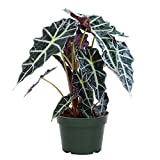"AMERICAN PLANT EXCHANGE Alocasia Polly Amazon Sheild African Mask Live Plant, 6"" Pot, Stunning Indoor Air Purifier"