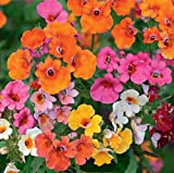 Nemesia Sundrops Mix Seeds Annual Flowers for Planting Giant Non GMO 100 Seeds