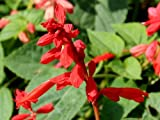 400 SCARLET SAGE (Lady-In-Red Salvia / Blood Sage / Red Texas Sage) Salvia Coccinea Flower Seeds