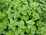 Greek Oregano, Winter marjoram, Herb, NON-GMO, Variety Sizes 896k
