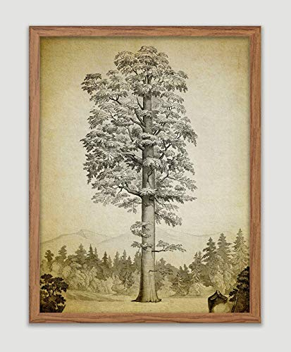 Sequoia Tree Poster Giant Sequoia Art Print Redwood Tree Wall Art Forrest Wall Decor Nature Home Decor Wall Hanging Great Gift for Sequoia Lovers