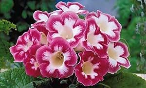 50 x Stunning Tulip 'Heart's Delight' bulbs