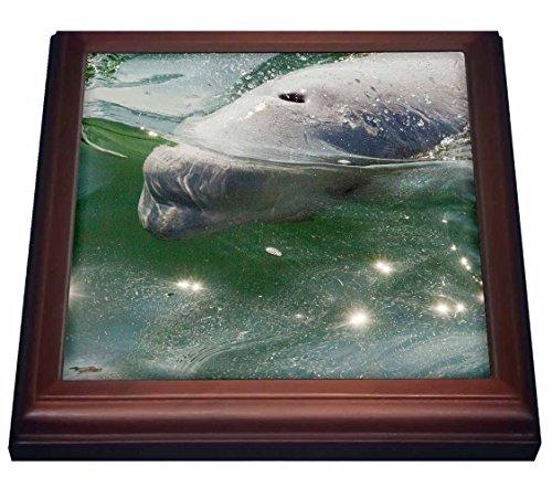Whale Framed Tile - 3dRose trv_208570_1 Canada, MB, Churchill. Churchill River Estuary, wild beluga whales.-Trivet with Ceramic Tile, 8