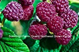 3 Potted Royalty Purple Raspberry Plants - Sweet, Great Flavor, Productive