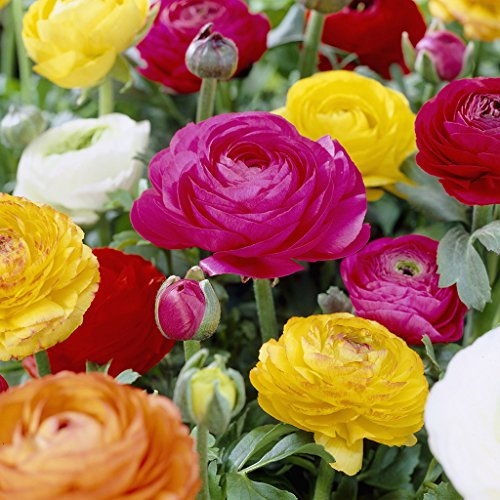 Summer Blooming Bulbs - Van Zyverden Butter Cups Ranunculus Double Blooming Mixed Set of 25 Bulbs