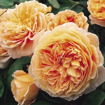 David Austin English Roses Crown Princess Margareta