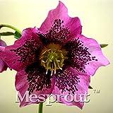 Novelty Plant 100PCS Hellebore (Christmas Rose)Helleborus niger seed bonsai flower plant home garden