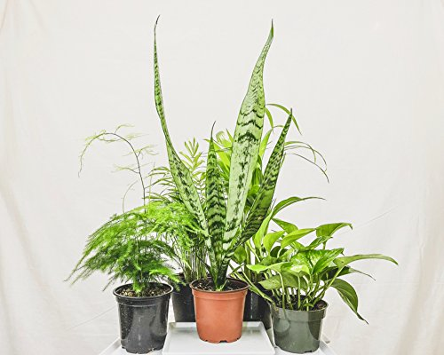 Collection of Five Fantastic Clean Air Plants for Your Home or Office - Beautiful - Florist Quality - Golden Pothos - Parlor Palm - Areca Palm - Asparagus Plumosus - Snake Plant by Florida Foliage (Image #1)