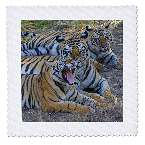 - 3dRose Danita Delimont - Tigers - Bengal tigers, Bandhavgarh National Park, India - 18x18 inch quilt square (qs_312704_7)