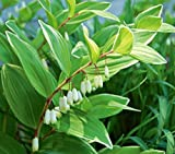 "Japanese Solomon's Seal - Variegatum- Polygonatum multiflorum - Shade - 4"" Pot"