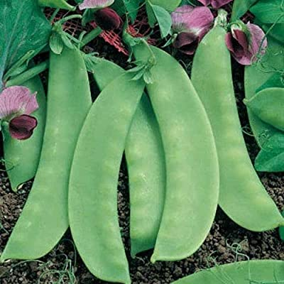 Pea Seeds for Planting, Sugar Snap Pea, Heirloom Organic Non GMO Vegetable Seeds : Garden & Outdoor