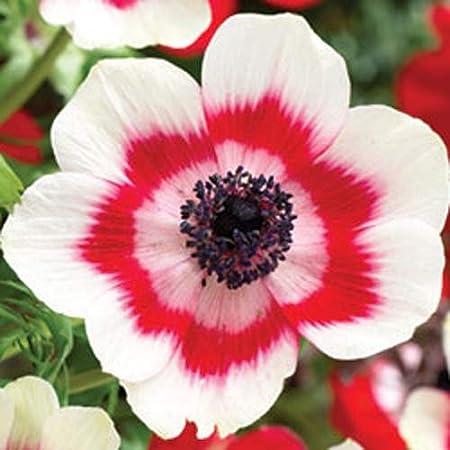 Amazon Com 20 Anemone De Caen Bi Color Color Blanco Y Rojo