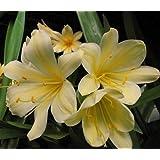 """9GreenBoxs: Clivia Good Hope Clivia Plant - RARE - 4"""" pot - NEW"""