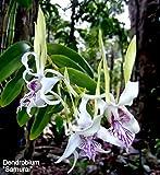 Dendrobium Samurai Species stratiotes X antennatum Orchid Plant.