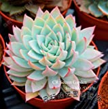 High germination rate ECHEVERIA peacockii Succulent Plant seeds home garden beautiful desk bonsai 20 seeds for plant lover