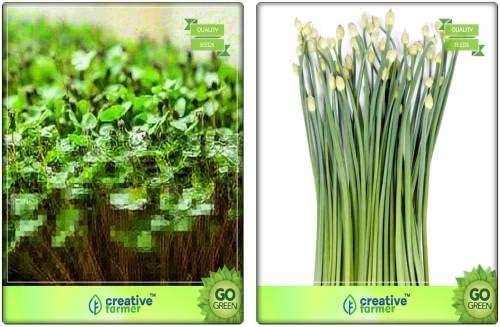 Seedsown Combo Pack berro común, cebolletas de ajo Hierbas Semillas Combo Pack Por Semilla: Amazon.es: Jardín