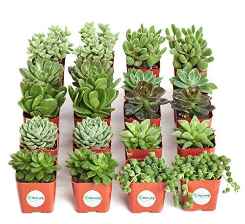 Shop Succulents Green Succulent (Collection of 20) by Shop Succulents (Image #8)