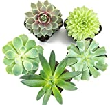 Succulent Plants (5 Pack) Fully Rooted in Succulent Planter Pots with Succulent Soil | Real Live Potted Succulents | Indoor Plants | Unique Live Plants | Cactus Decor | Succulent Pots by Aquatic Arts