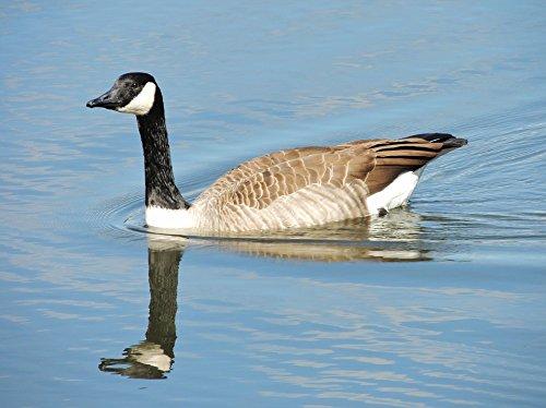 Home Comforts LAMINATED POSTER Goose Nature Canadian Snow Goose Snow Goose Bird Poster Print 24x16 Adhesive (Snow Goose Bird)