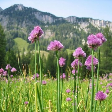 20PCS Allium Schoenoprasum Chives Seeds