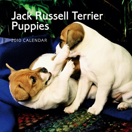 Jack Russell Terrier Puppies 2010 Mini - Puppies Terrier Calendar 2010