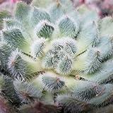 Echeveria setosa Cactus Cacti Succulent Real Live Plant