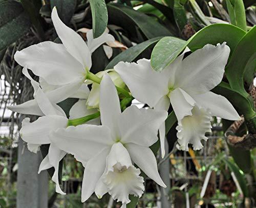 - RLC Hawaiian Wedding Song 'Virgin' Cattleya Orchid Plant. Clean White Flowers!!!