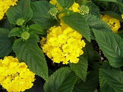 Amazon 50 Yellow Lantana Seeds Yellow Flowers Garden Outdoor