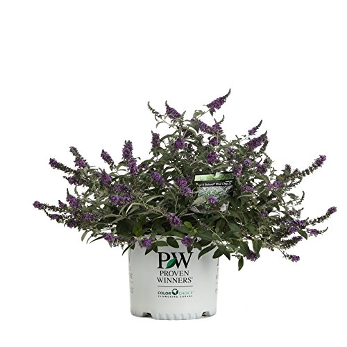 Lo & Behold 'Blue Chip Jr.' Butterfly Bush (Buddleia) Live Shrub, Blue-Purple Flowers, 3 Gallon