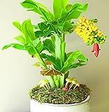 NooElec Seeds India Dwarf Banana Seeds Home Planting - 15 pieces