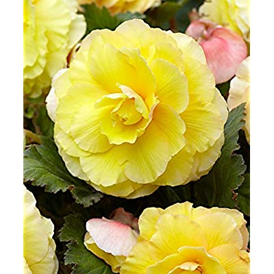 Begonia Double Yellow (3 Bulbs) Fragrant blosssoms from Summer to Frost, Zone 9-11 : Garden & Outdoor