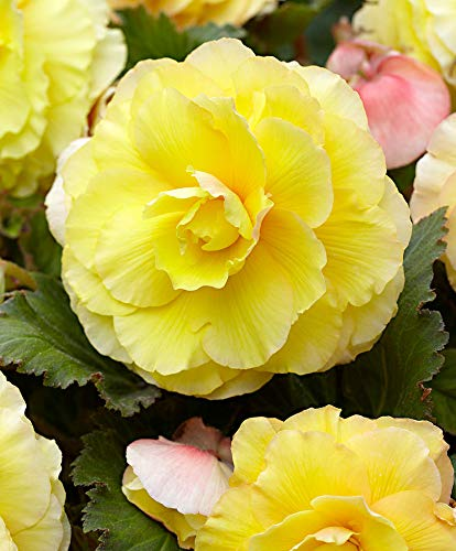 (Begonia Double Yellow (3 Bulbs) Fragrant blosssoms from Summer to Frost, Zone 9-11)